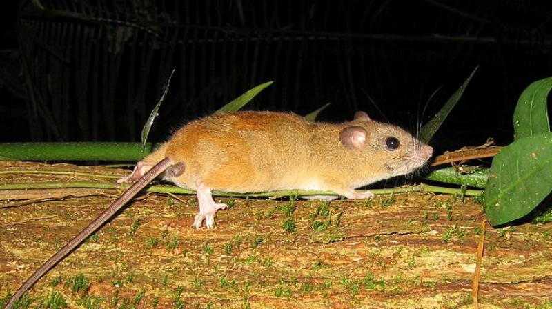 The Bramble Cay melomys was considered to be Australia's most isolated mammal. (Photo: Wikimedia Commons/Flickr/ Greg Schechter)