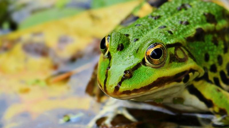 Social media helps Romeo the lonely frog find his Juliet. (Photo: Pixabay)