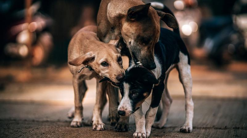 PETA India's investigator visited the DBU from 12 to 14 March 2018 and documented that none of the adult dogs or puppies were allowed to play, exercise, or socialise at any point in the areas of the facility designated for this purpose. (Photo: Pixabay)