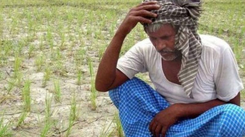 It is said that farmers were not getting crop loans and some of them took the extreme step as their cotton crop was attacked by pink bollworm.  (Representational Images)