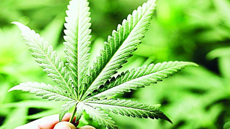 The transporters arrive early at the railway station and board the general compartment or sleeper class bogies and stock the ganja there.