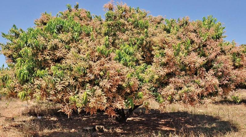 Good mango harvest likely in Krishnagiri this year