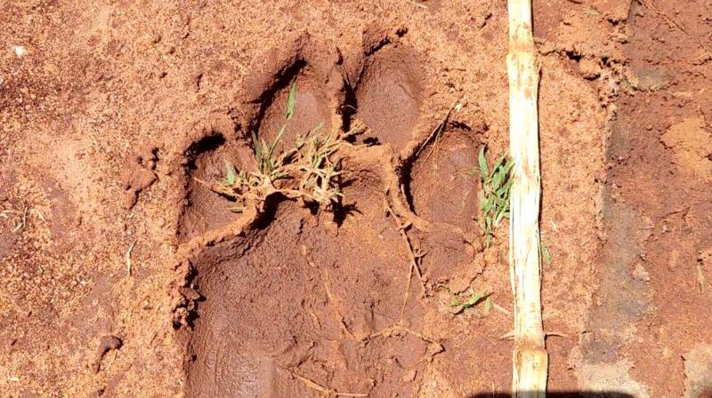 Pug marks of a tiger in Shivapura village. (Photo: DC)