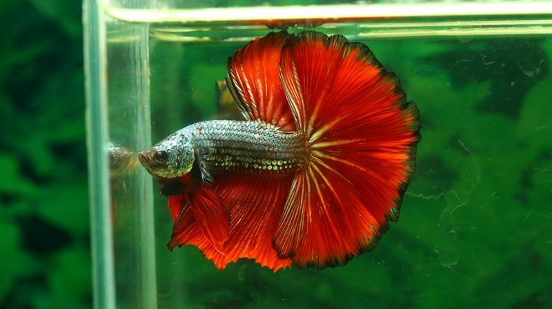 Pet betta fish. (Photo: Pixabay)