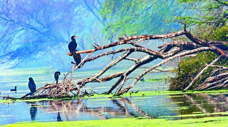 A flight of Great Cormorants perch on the ruins of a tree by a lake at Keoladeo Ghana Bird Sanctuary in Rajasthan's Bharatpur