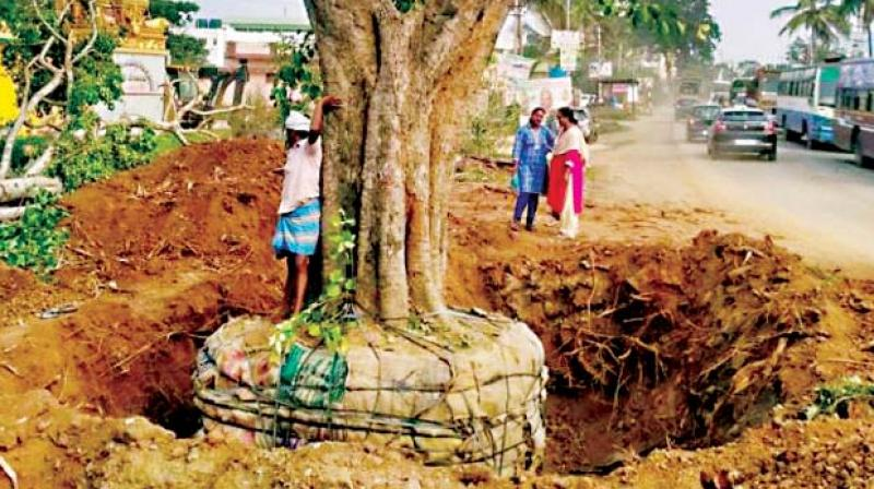 A file photo of a tree ready for translocation in Bengaluru
