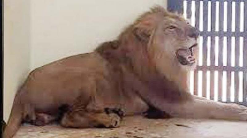 A lion at Hampi zoo
