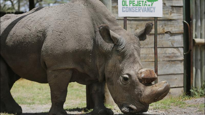 Sudan, the world's last male northern white rhinoceros, died in Kenya on Monday, leaving his species one step closer to extinction.