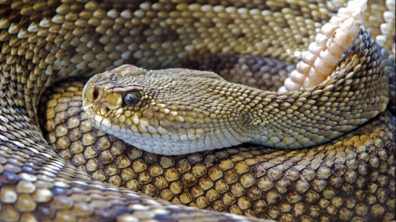 Scientists have identified a new type of barred snakes.(Photo: Pexels)
