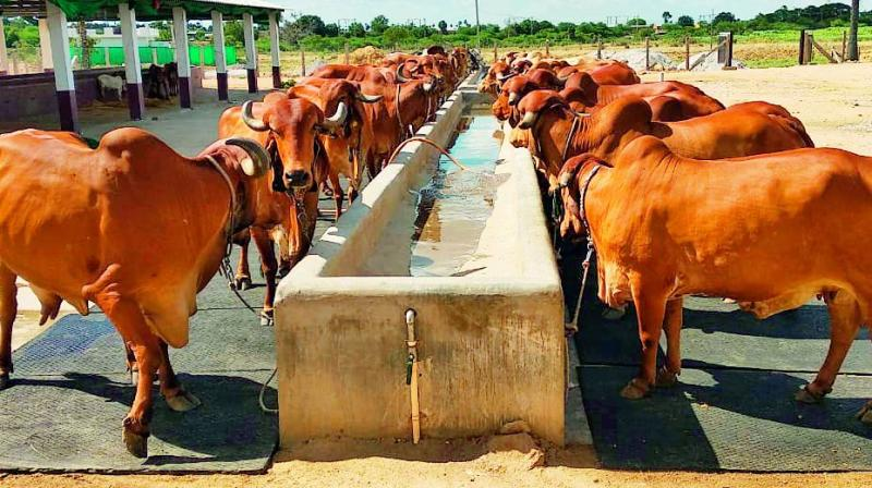 Cows at Suresh Babu's farm — Happy Cows