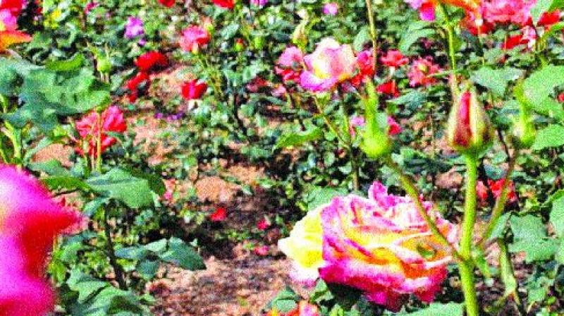 Nevertheless, the enthusiastic Horticulture officials proved their prudence by planting 200 new rose varieties such as Twilight trust, Up town girl, Truly yours, Whisper,  Yasemin cavas, .
