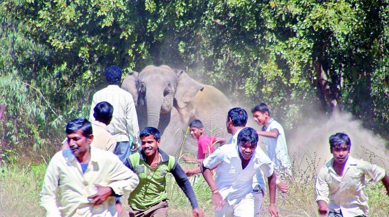 Suddenly, we find ourselves too often right in front of wild animals. In the 1980s, some 150 people died every year as a result of man-elephant conflicts. In recent years, that figure has risen to about 500 a year.