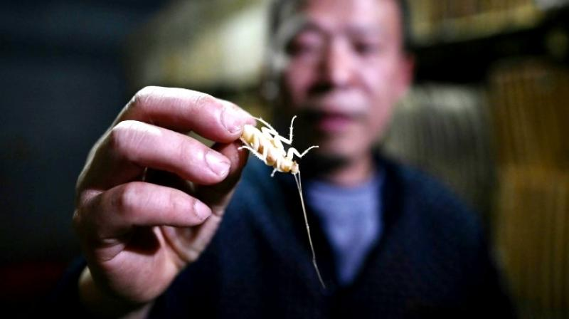 The greatest effect of cockroaches are that they have great immunity, which is why humans will absorb its benefits after eating them. (Photo: AP)