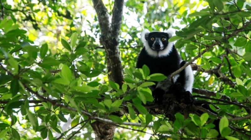 Out of 111 recorded lemur species, 105 face the threat of extinction, says the Lemur Conservation Network. (Photo: AFP)