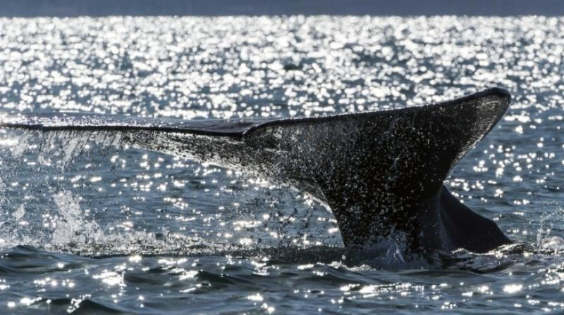 COSEWIC noted that Sowerby's Beaked whales are particularly susceptible to noise pollution as the species uses sound to navigate and hunt. (Photo: AFP)