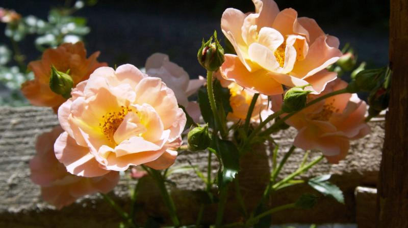 Along with beauty, roses offer a great deal of utility around the landscape, including erosion control, salt endurance and appeal to pollinators. (Photo: AP)