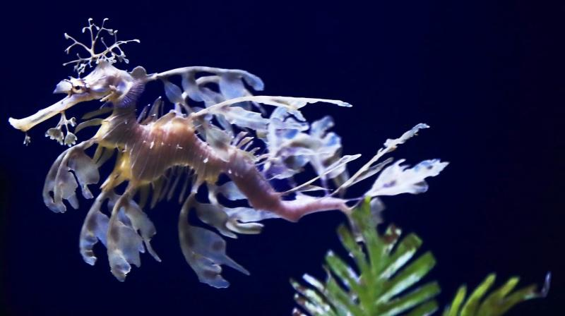 Sea dragons swim by spinning translucent fins while their tails act as rudders. (Photo: AP)