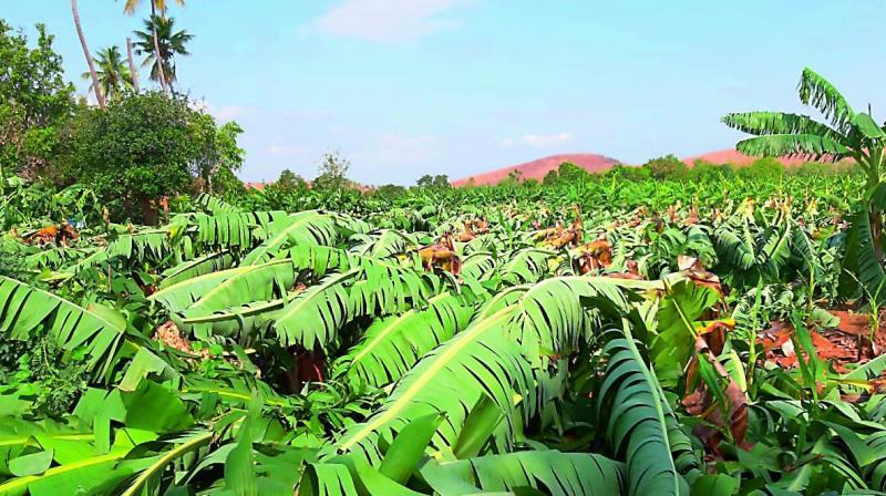 Banana orchards damaged in Railwaykodur in Kadapa district