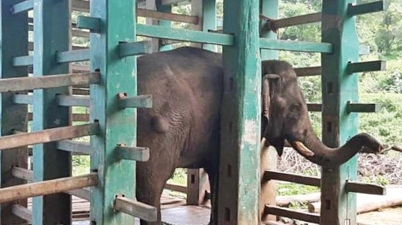 The alleged crop raider elephant Chinathambi was brought out from kraal at ATR after 5 long months.  (DC)