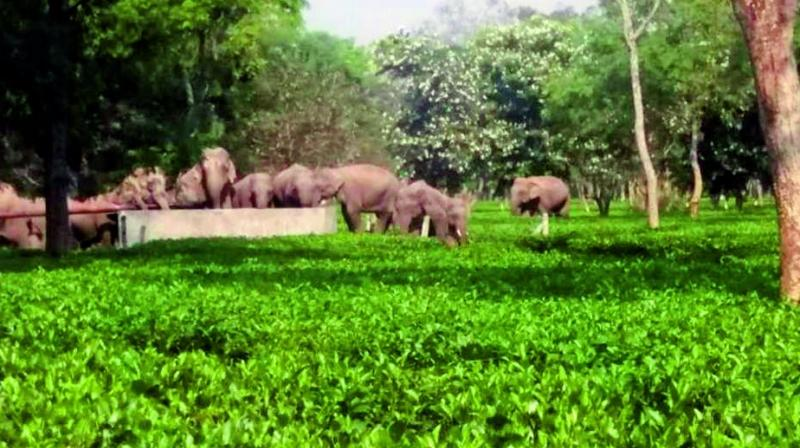 Elephants in Assam have been facing a number of challenges to their existence as tea has eaten into much of their habitat.