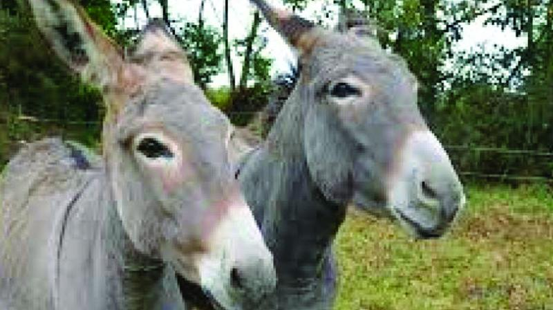 According to animal lovers, donkeys are being indiscriminately slaughtered and the meat is being sold openly,