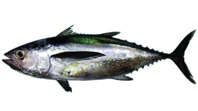 While Southern bluefin tuna is listed as critically endangered, Atlantic Bluefin considered to be endangered.