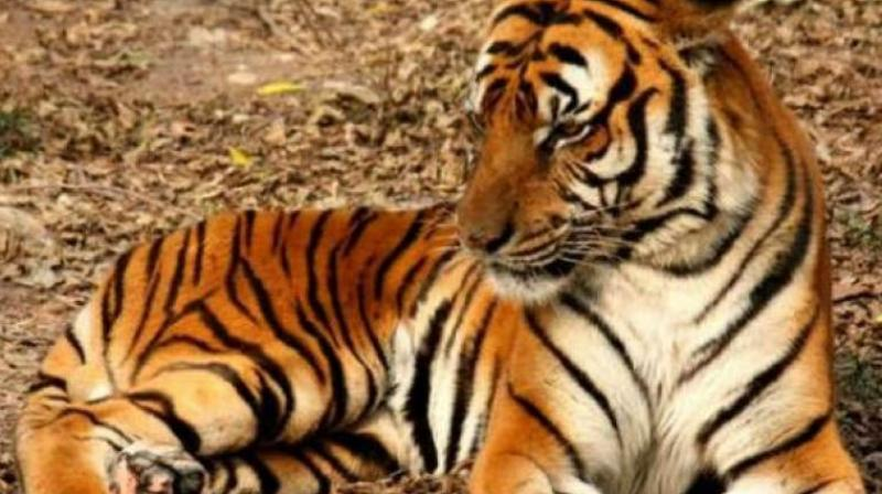 UP villagers run tractor over tigress after fatal attack on man