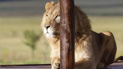 Two African lions rescued from war-torn Iraq and Syria were transported to a permanent home in South Africa, after an interim stay in Jordan where they recuperated from physical and psychological trauma. (Photos: AP)