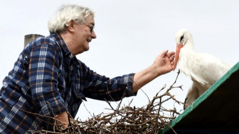 Картинки по запросу Male Stork Travels 14,000 Km Every Year to Be with His Handicapped Mate