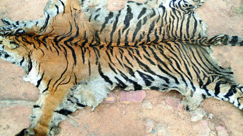 two held for possessing tiger skin in thane