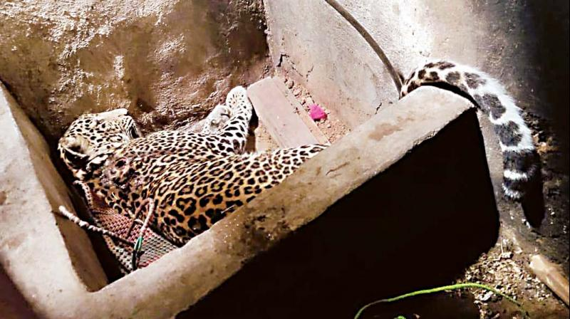 The leopard that was rescued from the house on Saturday. (Photo: DC)