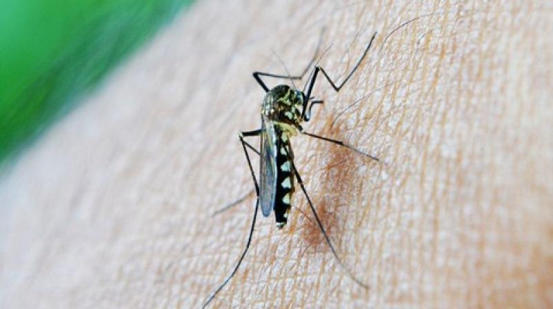 Cells in a mosquito's gut take up iron in the blood and use it to produce reactive oxygen. (Photo: ANI)
