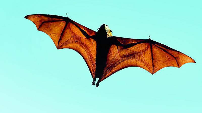 Nipah virus: Kerala to send fresh samples of fruit bats for testing