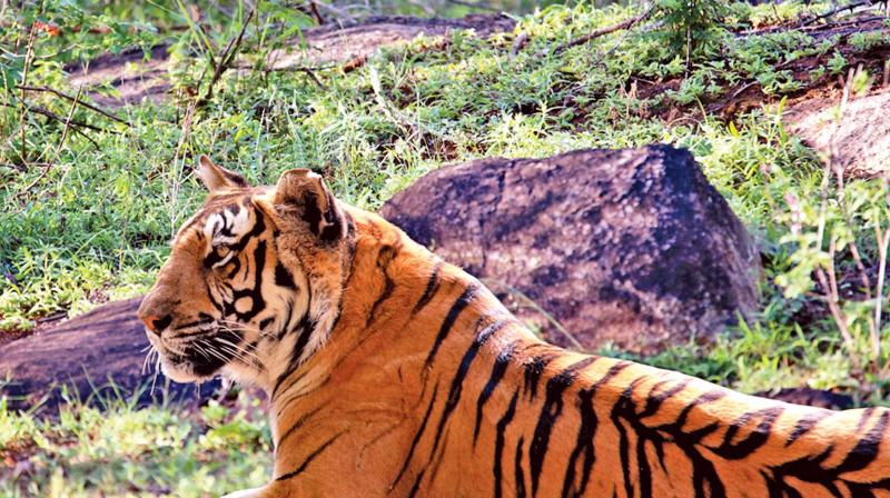 Tigers at MTR woods.  (Photo:K.B.Nagenthiran)