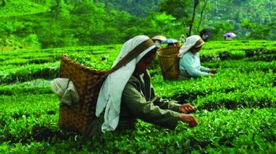 In the last seven years, that is between 2013 and 2019, prices of tea moved up by an average of Rs 11 per kilogram with average realisation ranging between Rs 136 and Rs 147 a kilogram, tea prices in real terms have dropped in the last five years with the rupee allowed for a free fall.