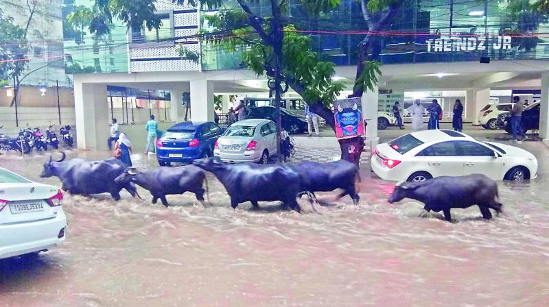 Buffaloes wade through rain-water on one of the roads in the city on Friday. (Photo: Jannkibhat)
