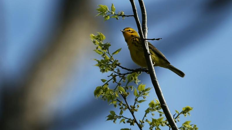 3 billion fewer wild birds in North America than in 1970