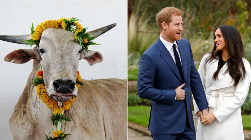 An Indian bull who was found weak and injured, likely after a lifetime of being forced to toil in the hot sun pulling a heavy cart, has been adopted by the group on behalf of the happy couple and named Merry, a hybrid of the name Meghan and Harry.
