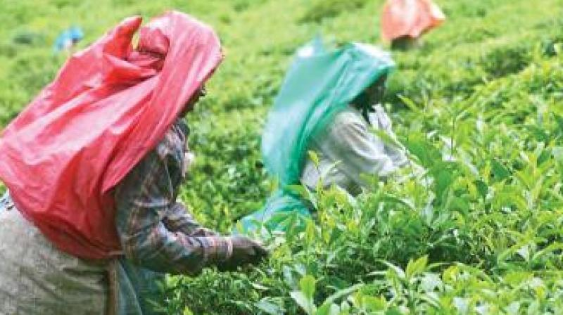 With parties stressing on minimum wages for tea workers, potable water, electricity, education and employment, call for separate Gorkhaland is not an issue in the hills (Representational image)