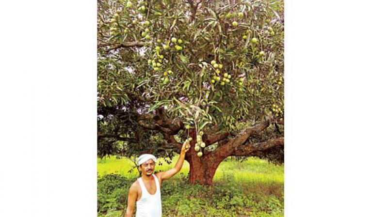 Syed Ghani khan in his mango orchard
