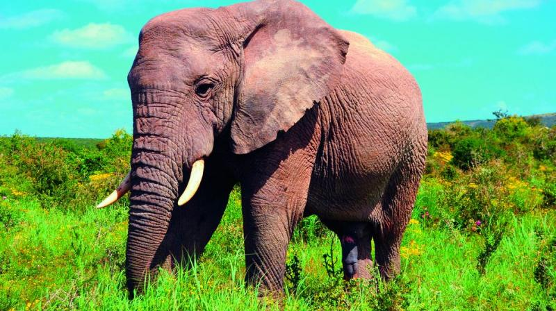Poachers target tusked elephants, the tuskless gene is being passed on to babies.