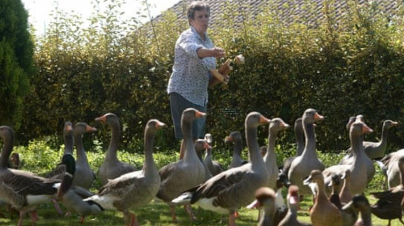The latest case to ruffle feathers in the French countryside pits a woman rearing around 50 ducks and geese in her back garden in the southwestern Landes region -- a duck-breeding bastion -- against her newcomer neighbours. (Photo: AFP)