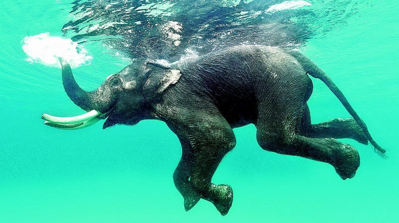Rajan, a tusker swims at Radhanagar Beach in Andamans.