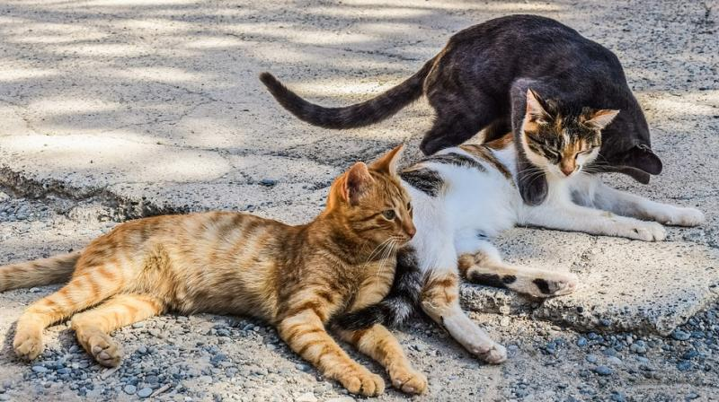 Sterilising one female cat can prevent 420,000 births in seven years. (Photo: Pixabay)