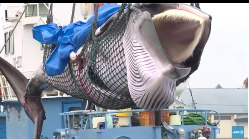 The resumption of whaling has been controversial outside Japan, drawing criticism from activists and anti-whaling countries, and whaling communities are sensitive to the optics of the hunt. (Photo: AFP video screengrab)
