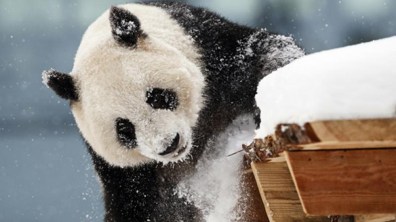 China agreed to loan the pandas for 15 years as a gift to Finland. (Photo: AP)