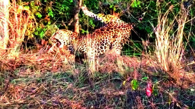 The  leopard didn't seem to get any injury while the escape.