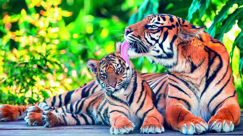 The 2018 tiger census was released by Prime Minister Narendra Modi on the occasion of World Tiger Day on Monday