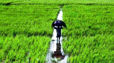 Sowing of the kharif (summer) crops is almost complete and harvesting will begin from October onwards.