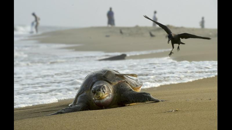 Carcasse of an olive ridley turtle washed ashore the Chennai coast on Friday. (Photo: AP)